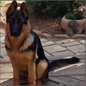 German Shepherd Training Charlotte NC
