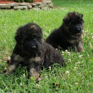 German Shepherd Puppies SC